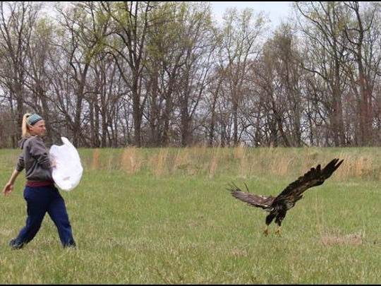 A bald eagle is released in Sussex County on Friday,
