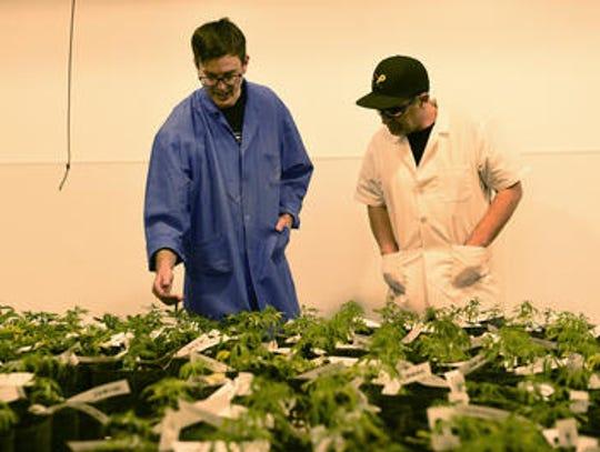 Employees at the Silver State Relief cultivation center