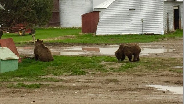Two young grizzlies were spotted on the property of Linda and John Holden near Valier Friday evening.