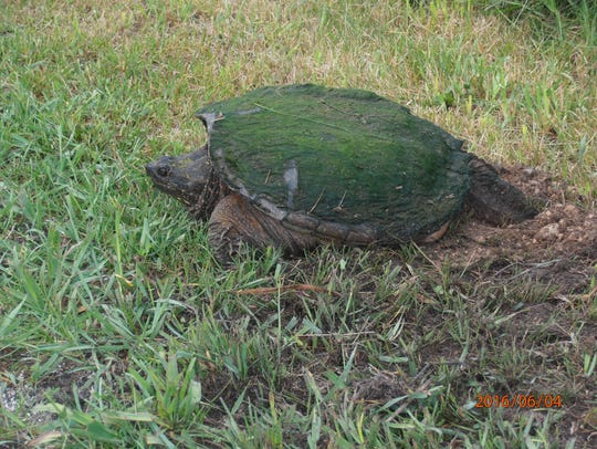 Gary Robinson took a photo of this snapping turtle
