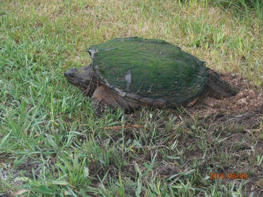 Gary Robinson took a photo of this snapping turtle laying its eggs on the side of the road near English Lake. Snappers like the gravel on the shoulder of the road as it heats up nicely for the incubation of their eggs. You can also see the moss on its back providing great camo.