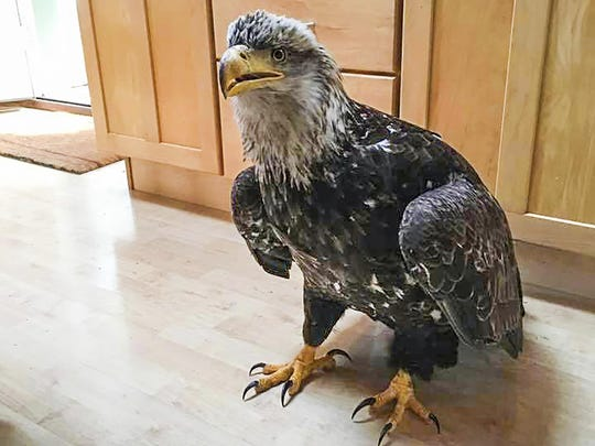 This eagle flew through the plate glass window into the living room of Stacy Studebaker in Kodiak, Alaska, on May 4. Except for some blood around the beak, the eagle didn't appear to be injured.