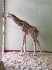Colorado State University veterinarians discovered serious health concerns when examining Penny the giraffe calf.