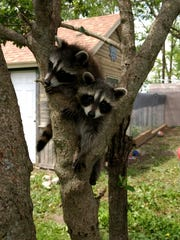 Two raccoons sit together in a tree.