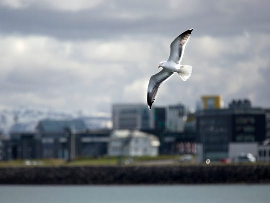 An Iceland gull sours over the Olde Harbour in Reykjavik.