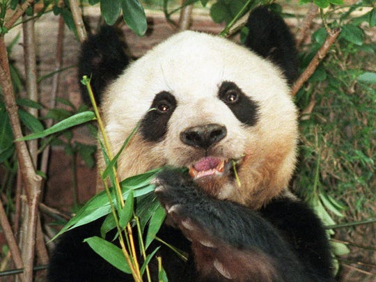 Get up close and personal with pandas at Indy's IMAX theater.