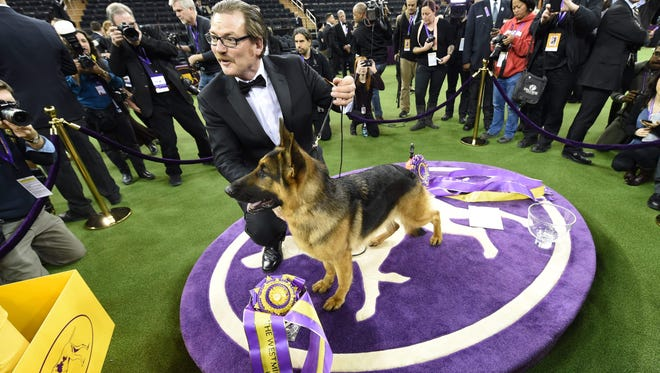 "Rumor, a German shepherd, stands next to Kent Boyles, his handler, after it won ""Best in Show"" at the Westminster Kennel Club 141st Annual Dog Show at Madison Square Garden in New York."