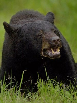Adult black bear.