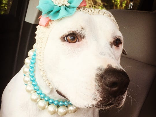 Abigail, the sweet Fort Myers pit bull, who captured