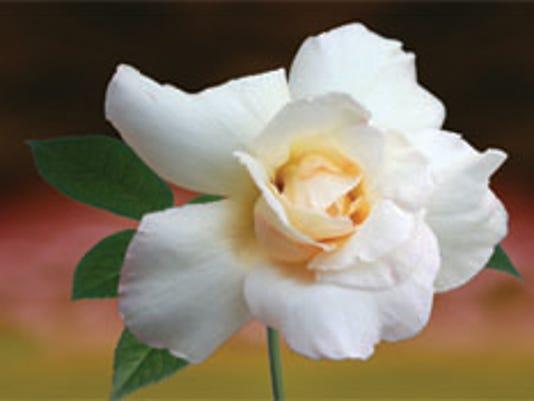 636161159363865704-White-Rose.jpg