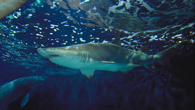 Sand tiger sharks are among the species of sharks found offshore of the beach in Ocean City.