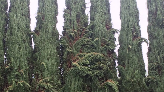 Italian Cypress branches drooping