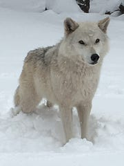 An Arctic Wolf comes out to play while the snow falls