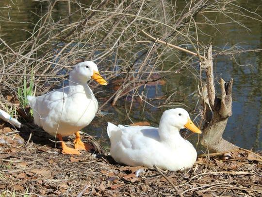 Two American Pekin ducks lounging near litter at the East Kings Highway duck pond in Shreveport.