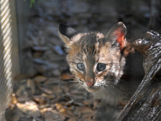 Bobcats Found In Palm Bay Getting Ready For The Wild