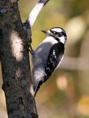 A downy woodpecker seen at the BLM Campbell Tract in