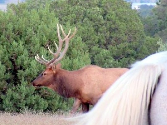 Carefully navigating past Thunder, a bull elk keeps