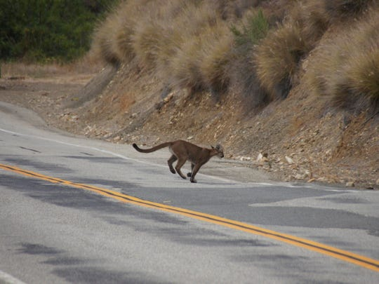 A mountain lion crosses a road in the Santa Monica Mountains.