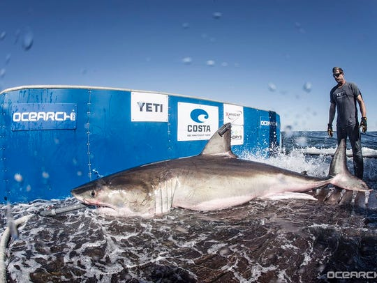 Hilton, a 12 foot, 5 inch Great White Shark, was tagged
