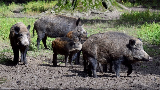 A pack of Wild boars at the wildlife park Grafenbergerwald in Duesseldorf, Germany