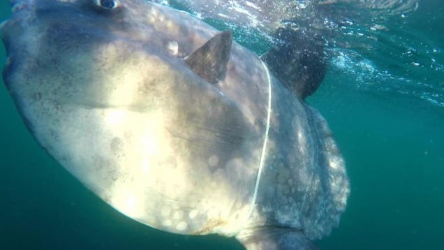 Entangled mola mola was freed off Highland Light in North Truro by a Center for Coastal Studies team, as reported on the center's Facebook page. Courtesy photo/Center for Coastal Studies