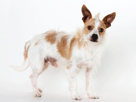 Linus, a 1-year-old male terrier mix dog for a family with adults only or children older than 10. No. 93100.
