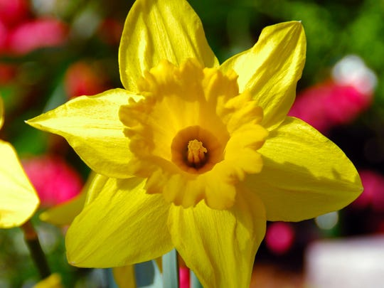 The Dutch Master daffodil is similar to the King Alfred Trumpet Narcissus Daffodil. Both are a bright yellow spring flower.