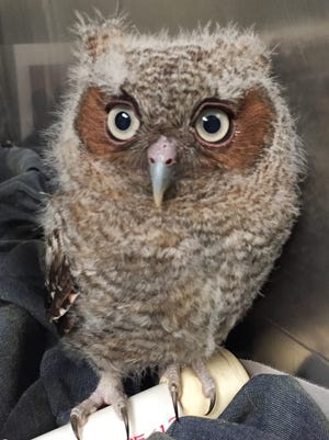 TheSt. Francis Wildlife Association cares for injured or sick wildlife, like this Screech Owlet.