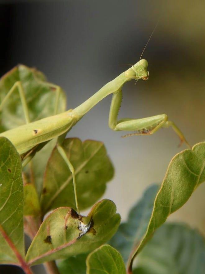 Distinctive Praying Mantis Is Aggressive Voracious