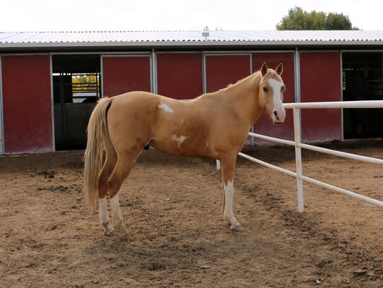 Wings stands in his pen Wednesday at Four Corners Equine