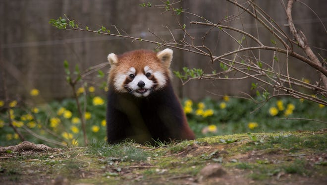 Harriet is a red panda born June 14, 2016 to parents Lin and Harold at the Cincinnati Zoo and Botanical Garden. The pandas can be found near the Spaulding Children's Zoo. The zoo works with the Red Panda Network to protect the red pandas and their bamboo forests. The pandas are part of the Species Survival Plan. They're skilled climbers and jumpers and have a life-span of up to 14 years.