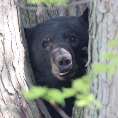 A dog treed a black bear in a Shippensburg area development
