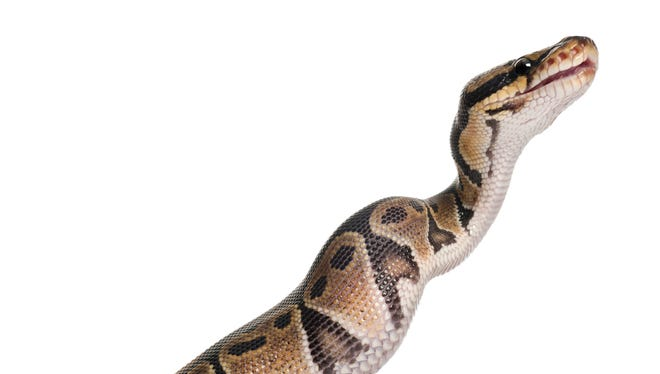 Ladder 602 was called upon to rescue a 10-foot python from a sidewalk in Old Town Scottsdale.