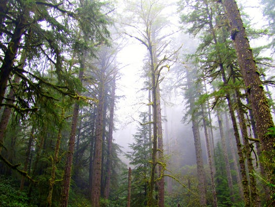 A stand of trees in the Elliott State Forest north