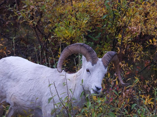 My parents saw this bighorn sheep on their most recent trip to Alaska…without me.