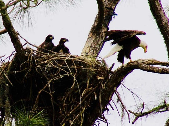 Eaglets E7 and E8 watch one of their parents fly away.
