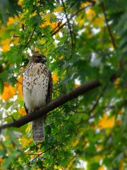 Brian White of Clifton photographed this hawk in his back yard in Clifton.