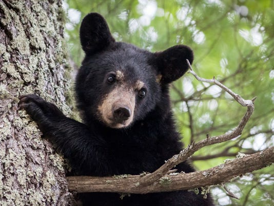 ELM BLACK BEAR