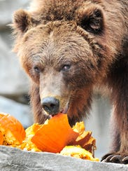A grizzly bear feasts on Halloween pumpkins.