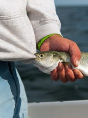 A bluefish bites onto mate Jimmy Coofiey's hoodie during a fishing trip off the coast of Bethany Beach.