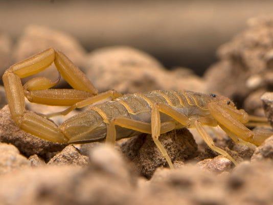 Arizona Bark Scorpion Crawling