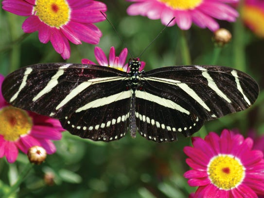 The Spring Butterfly Exhibit will features hundreds
