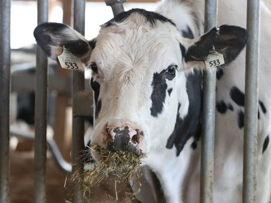 A Holstein cow enjoys her lunch of silage at Black Brook Farm in Farmington.