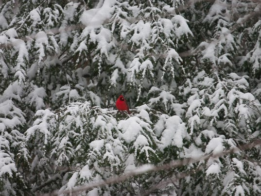 Cardinal-in-the-Snow.-Photo-by-John-Mizel.jpg