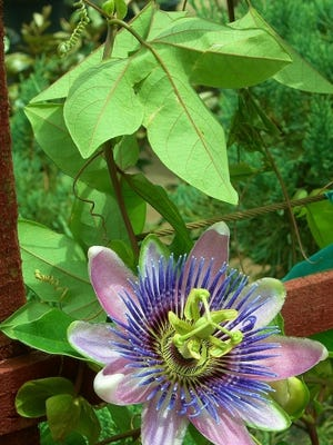 Maypop or Purple Passionflower, Passiflora incarnata is a common pass-along plant as it is easily propagated by cuttings and seeds. It is a short-lived perennial vine along the Treasure Coast and is native throughout the southeastern United States. In warm, frost-free years, it is evergreen but, is more often deciduous dropping leaves after a cold snap or in the late winter.