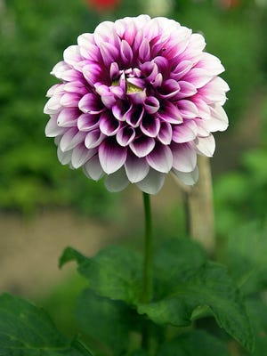 For dahlias and other nonhardy tubers and bulbs, wait until the first frost before lifting from the ground to store indoors for winter.