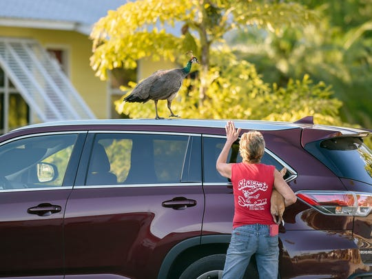 Toni Rummo tries to get a female peacock off of her car Thursday, March 22, 2018, in front of her home along Northeast Sottong Avenue in Rio. The birds are descendants of actress Frances Langford's pet peacocks.