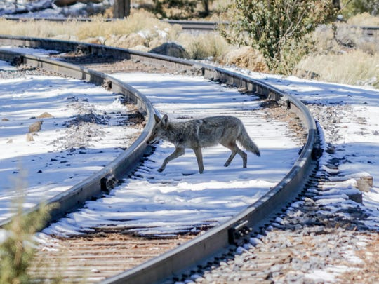 A coyote crosses the tracks of the Grand Canyon Railway just steps from the South Rim of the Grand Canyon. Wildlife is abundant in the area.
