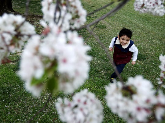 Five-year-old Amio Sarker chases bumble bees through the cherry blossoms along Cherry Road. The sunny skies are expected to give way to rain and clouds but should return in time for the weekend.