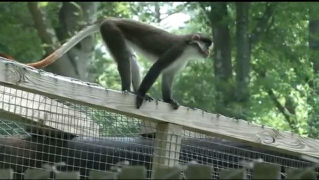Dizzy the escaped monkey on top of one of the enclosures at the Zoo in Forest Park in Springfield.